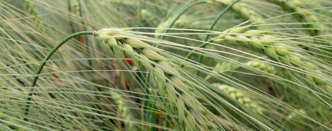 wheat-in-summer-1170x460